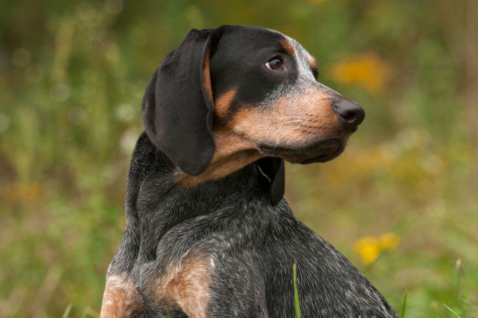 Blue tick hound