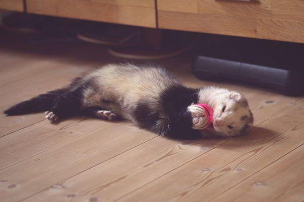 Ferret Resting On Hardwood Floor