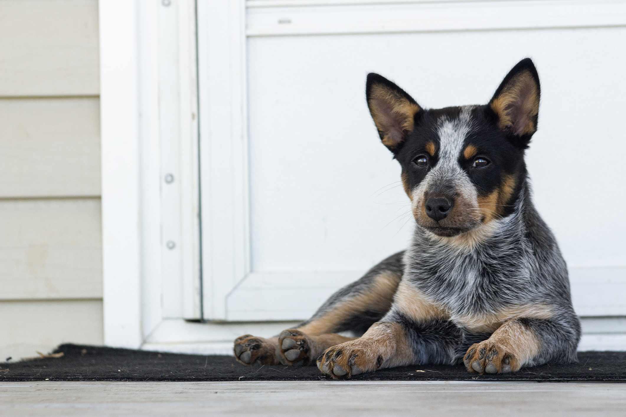 An Australian cattle dog puppy sitting on a porch