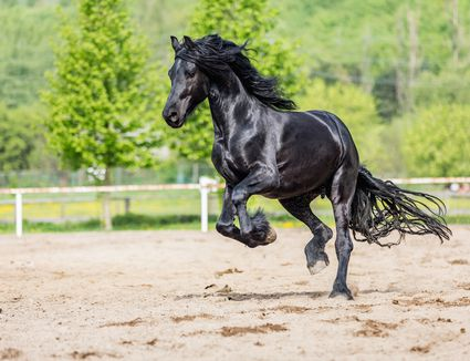 A black Friesian horse jumping.