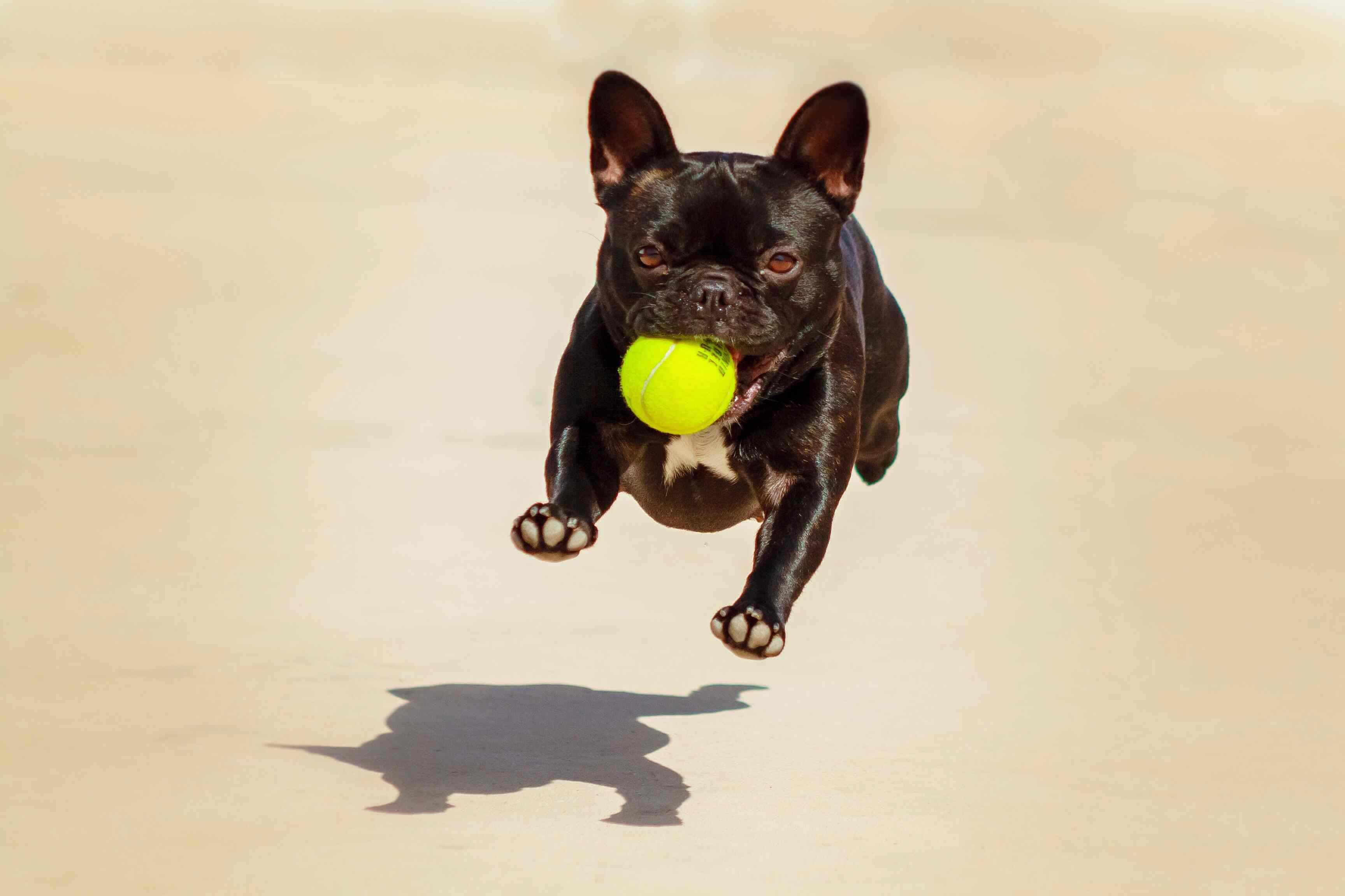 A black Frenchie running with a yellow ball in its mouth.