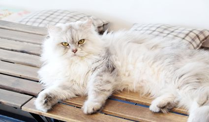 Persian cat lounging on wooden bench.
