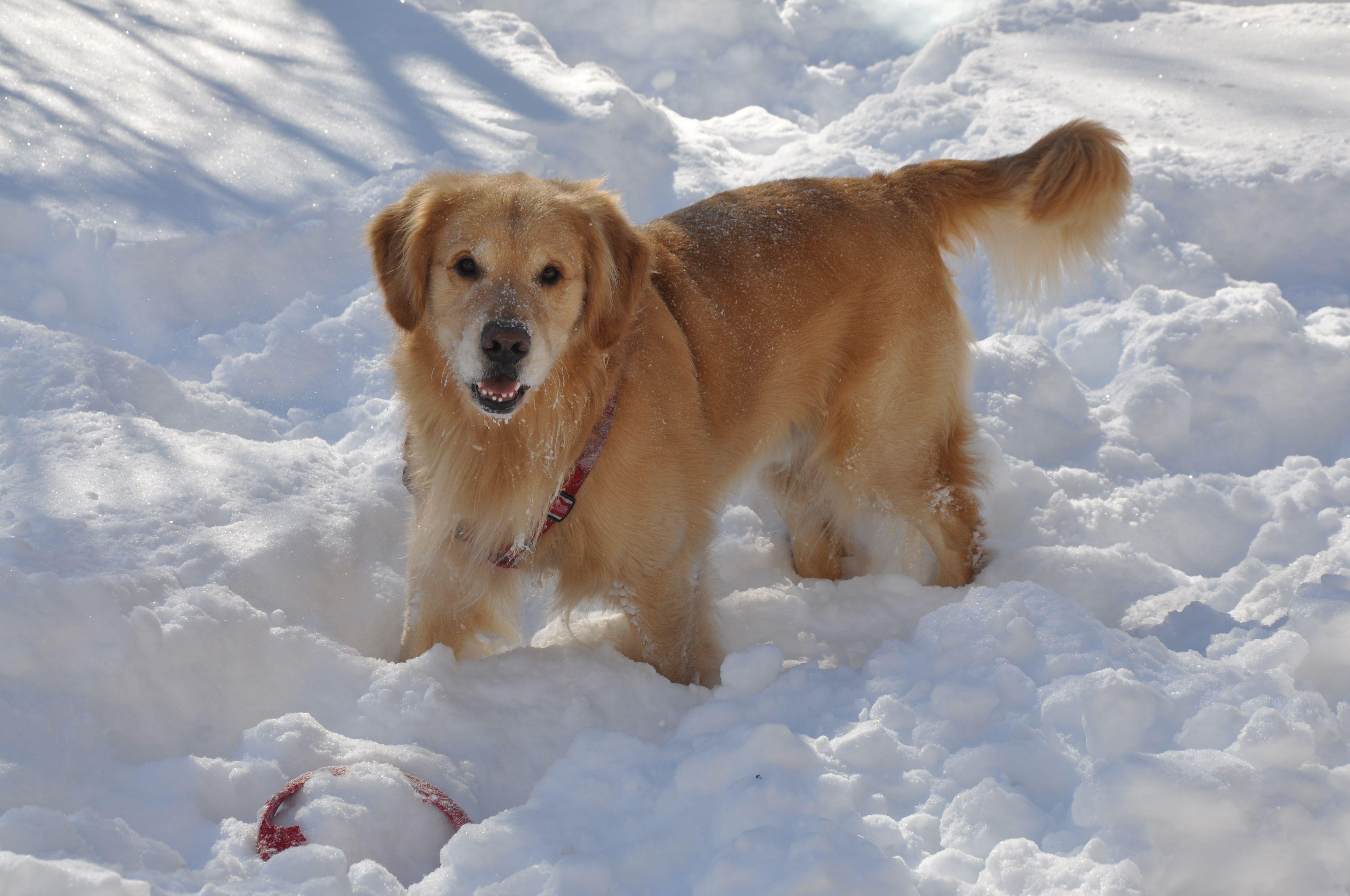 Golden retriever in snow