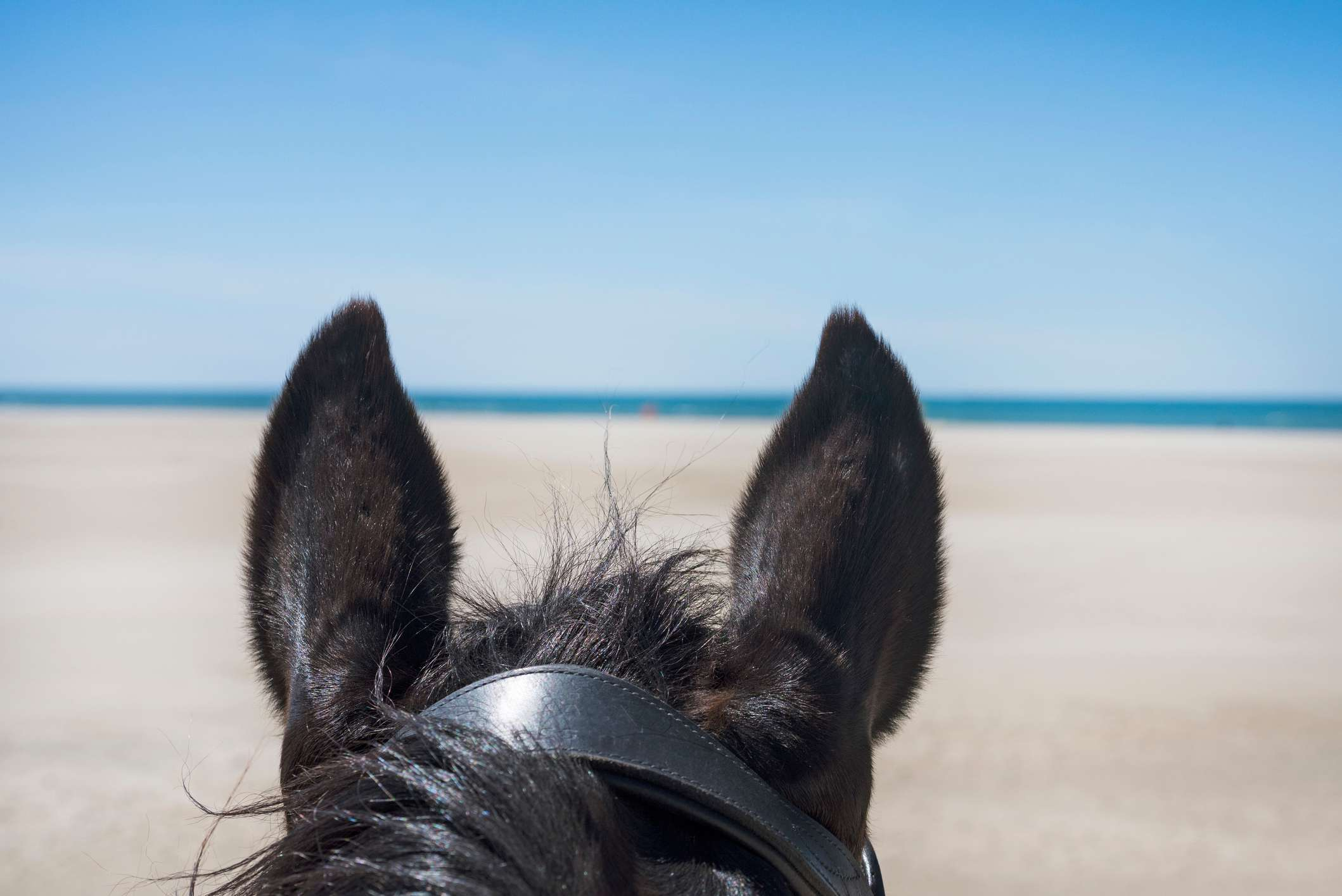 A horse's ears