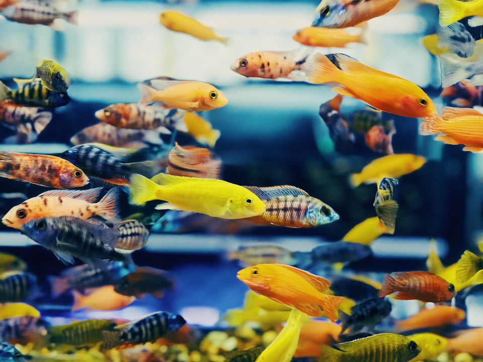 Close-up at Colorful Tropical Fish in Tank Aquarium, Thailand