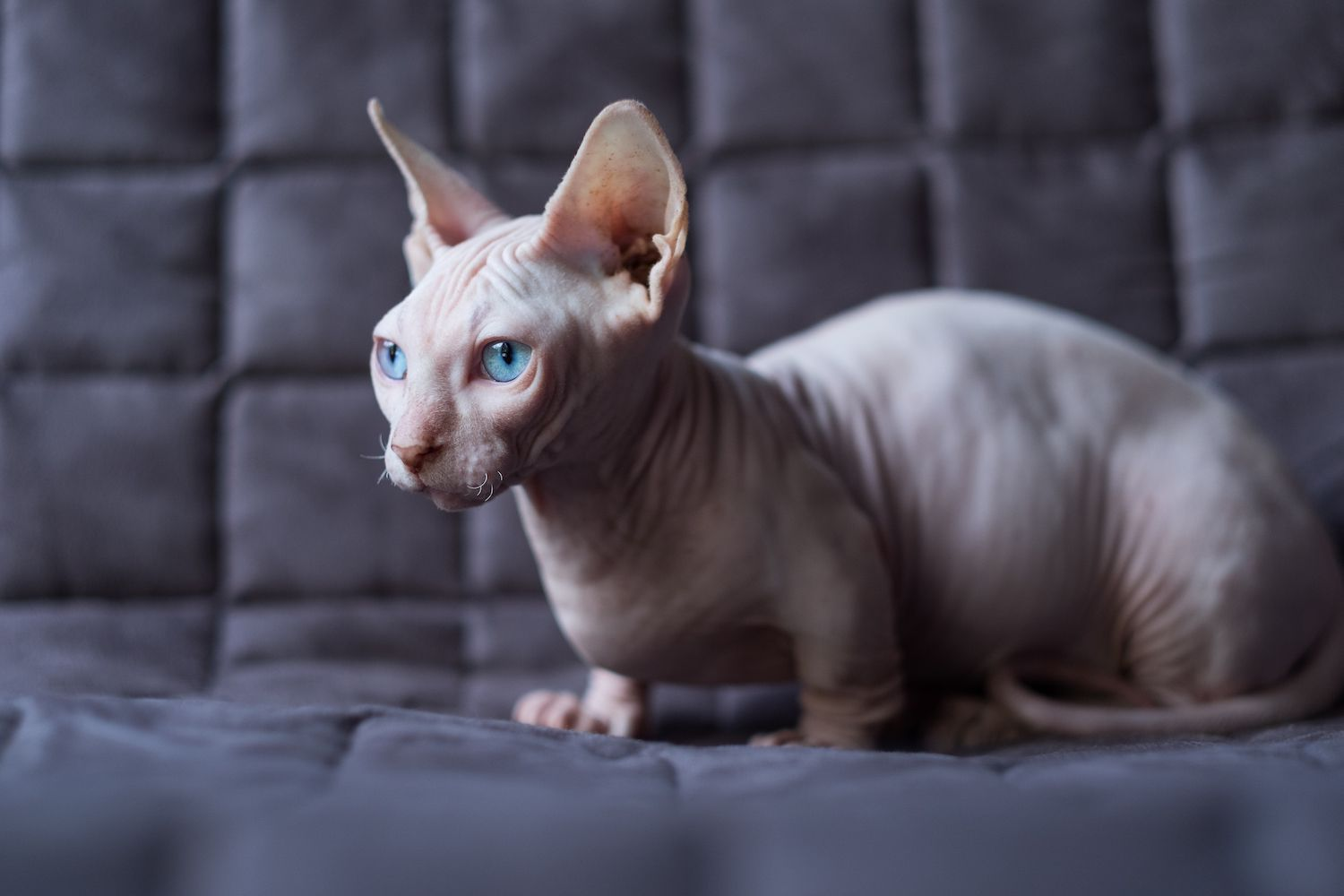 hairless bambino cat sitting on couch