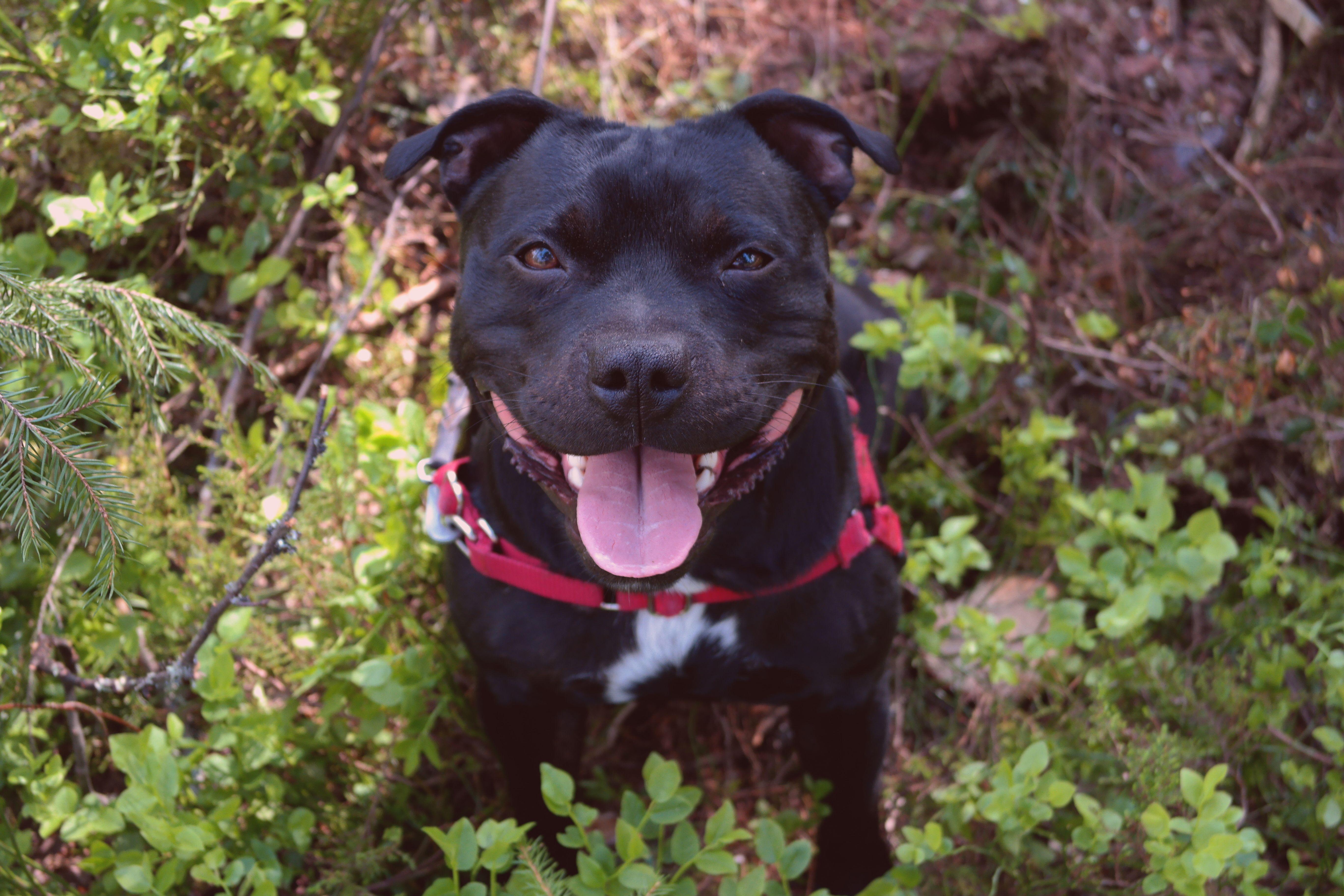 black Staffordshire bull terrier in nature