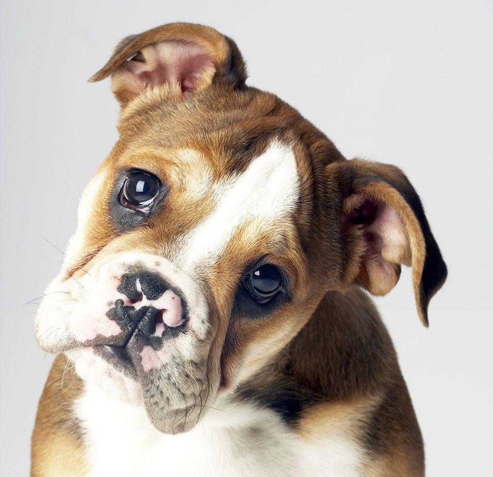 BulldogFace1500.jpg