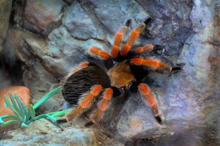Keeping And Caring For Pet Mexican Red Knee Tarantulas