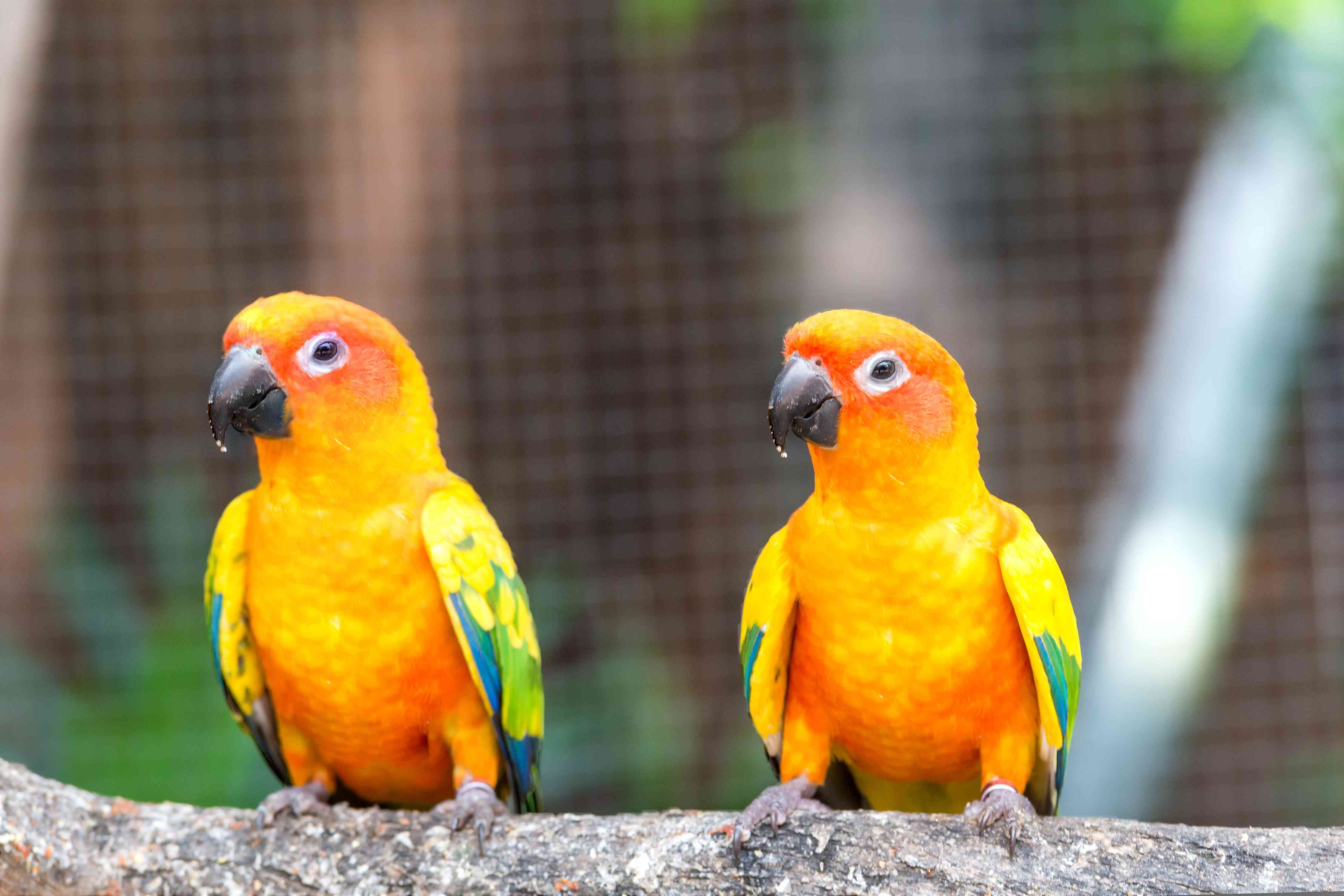 two sun conures