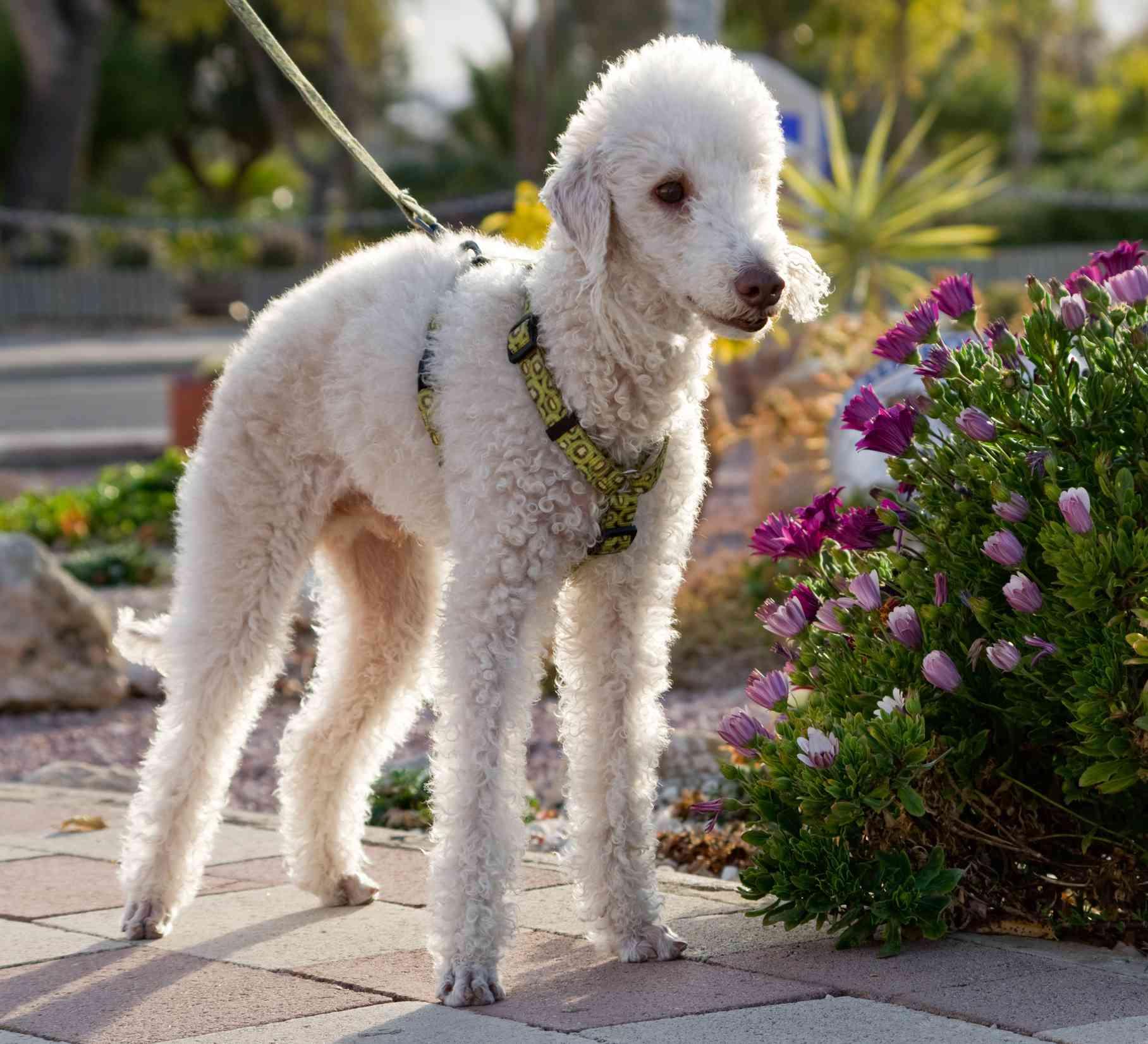 White Bedlington terrier