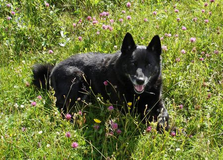Norwegian Buhund Full Profile History And Care