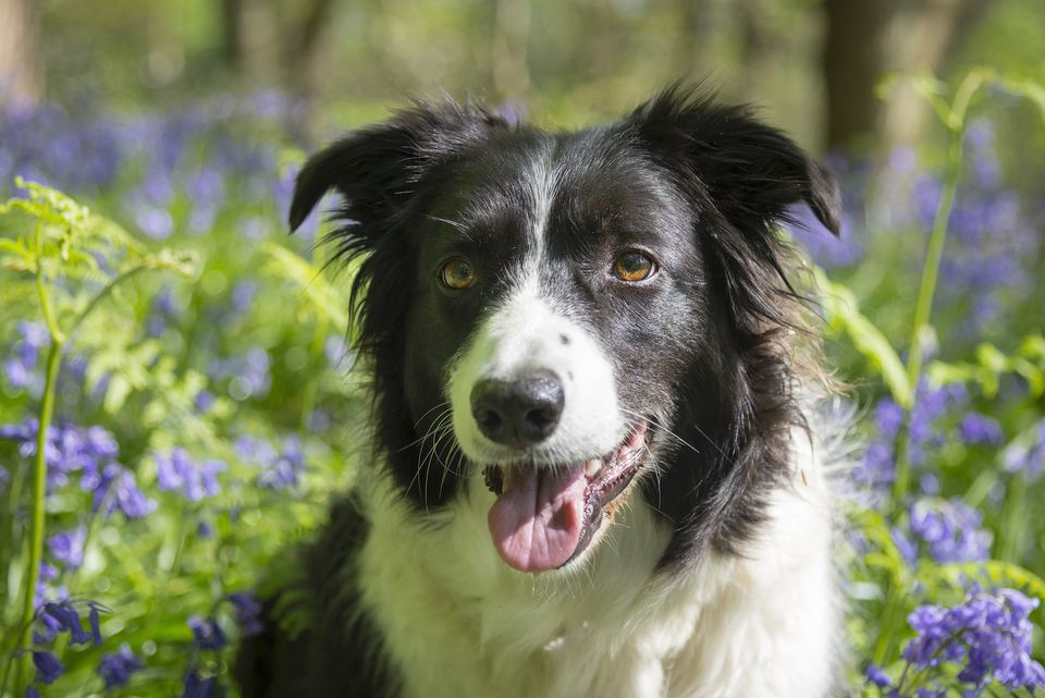 border collie in a garden