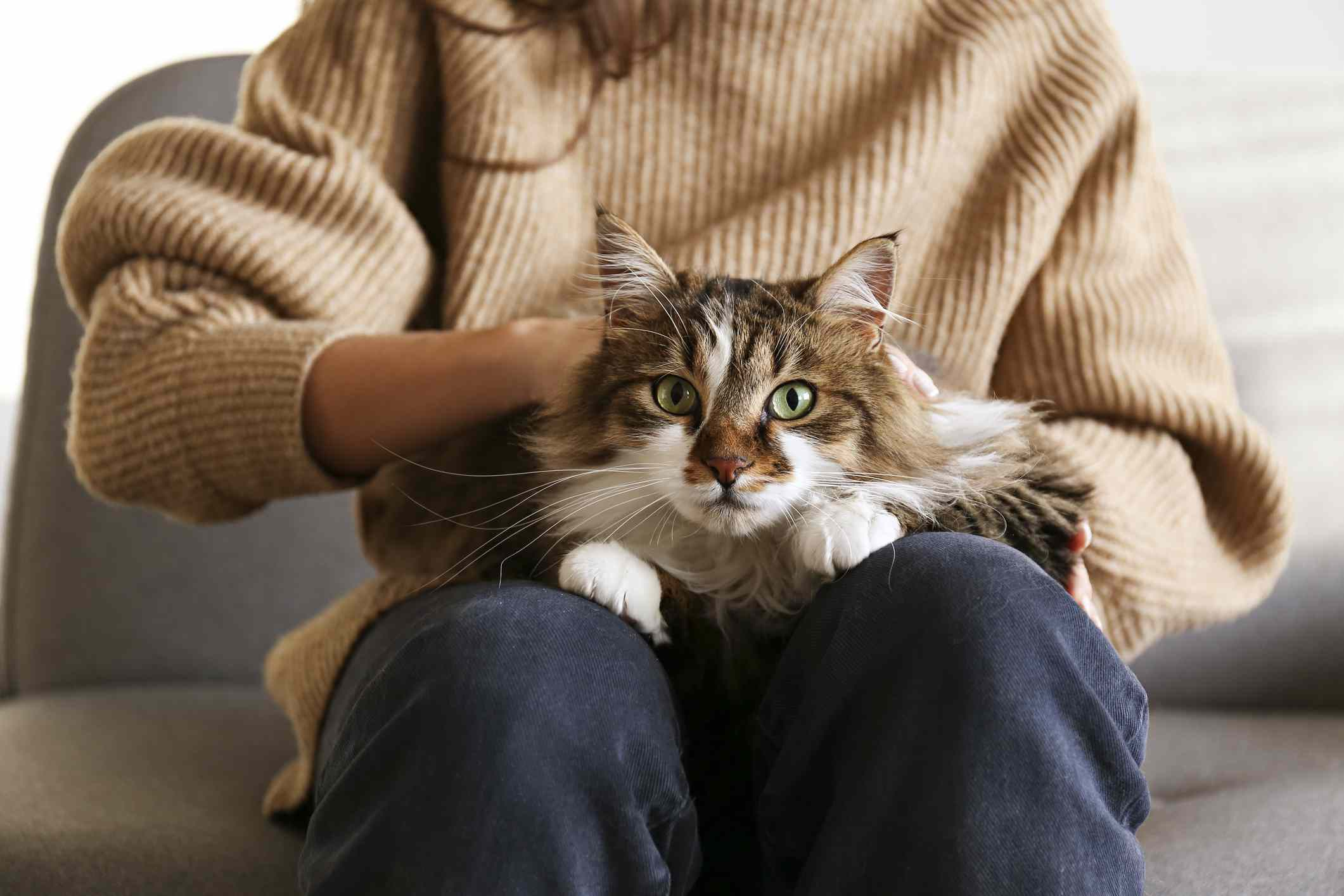 A woman in a brown sweater holding a ragamuffin cat in her lap.