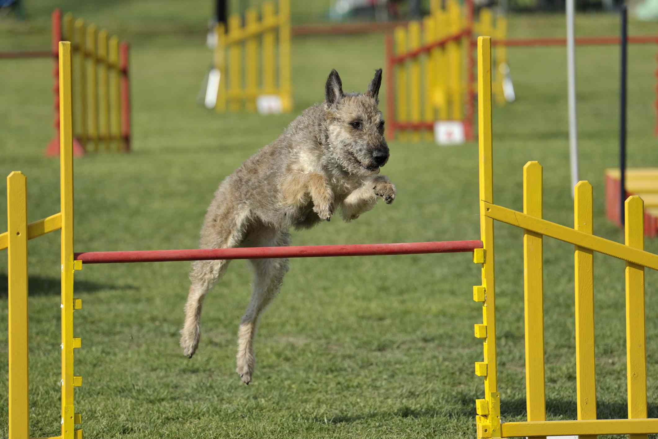 Belgian Laekenois in agility competition