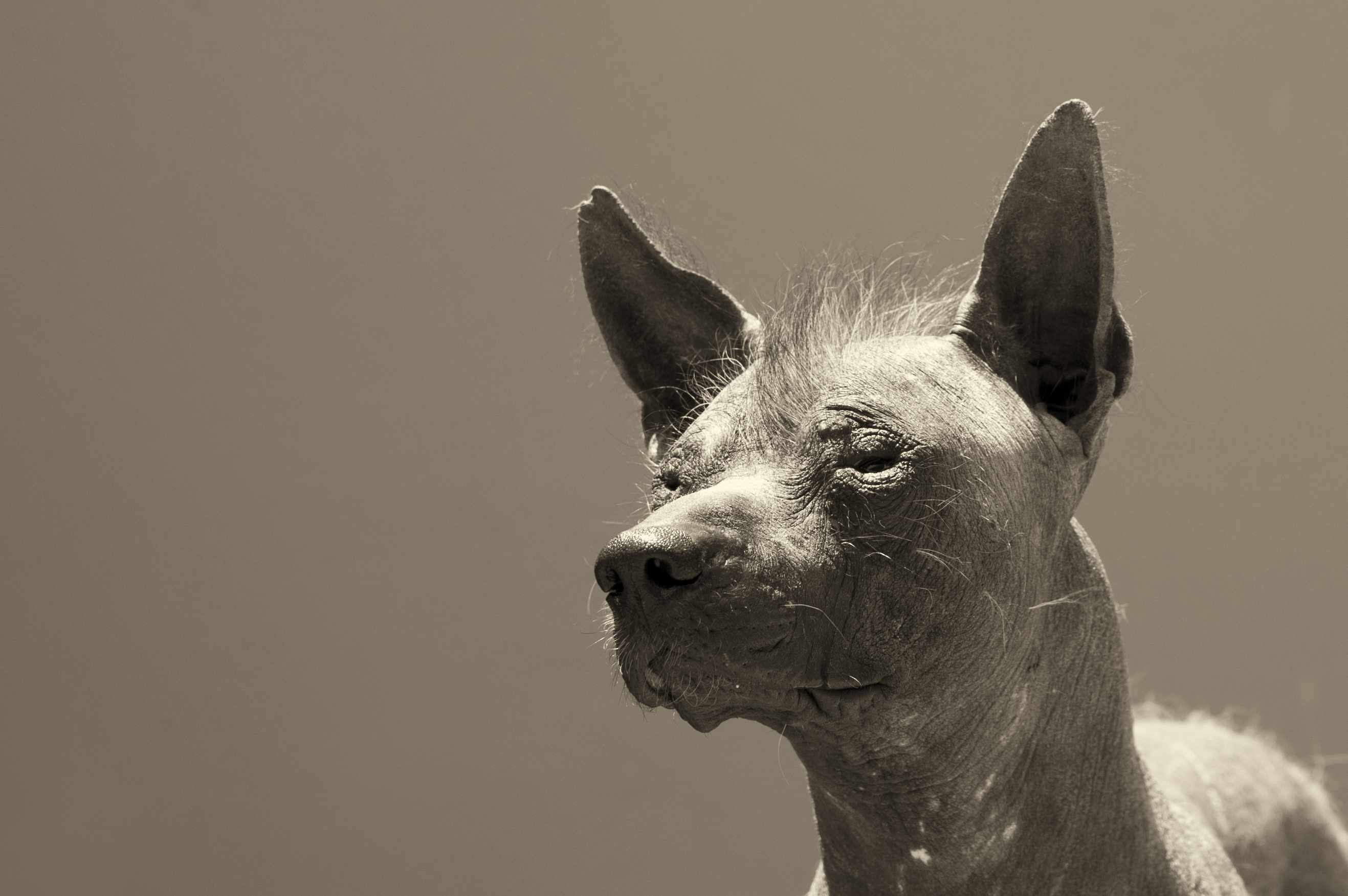 A hairless dog with wisps of hair on its head.