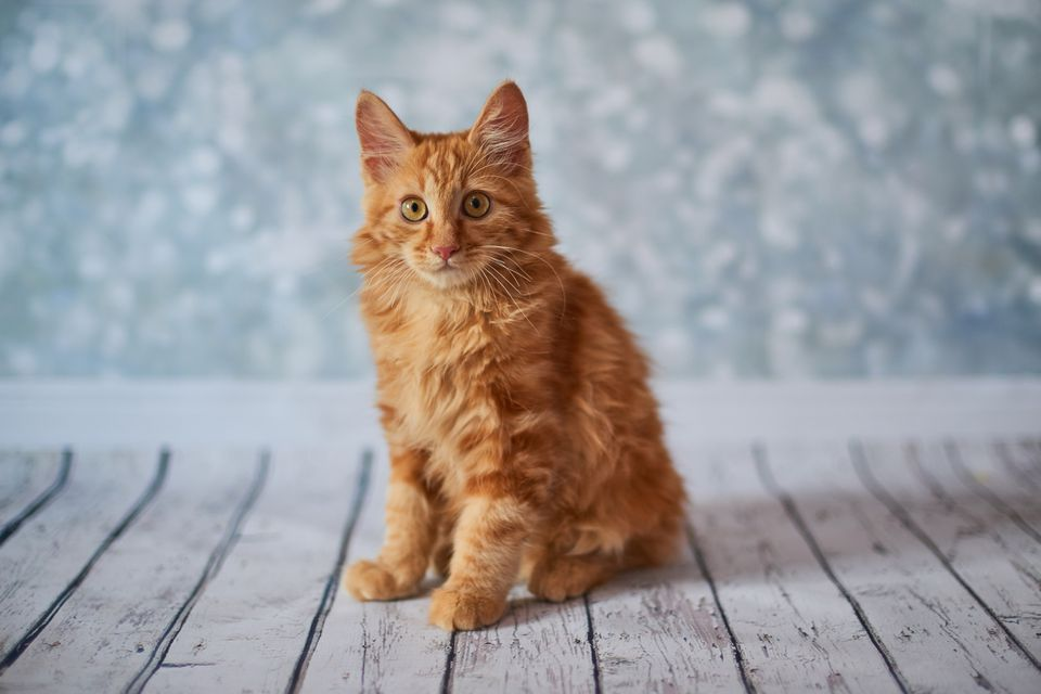 An orange American bobtail cat.