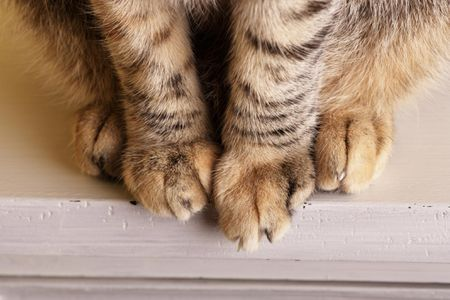 What to Do If Your Cat Has a Swollen Paw