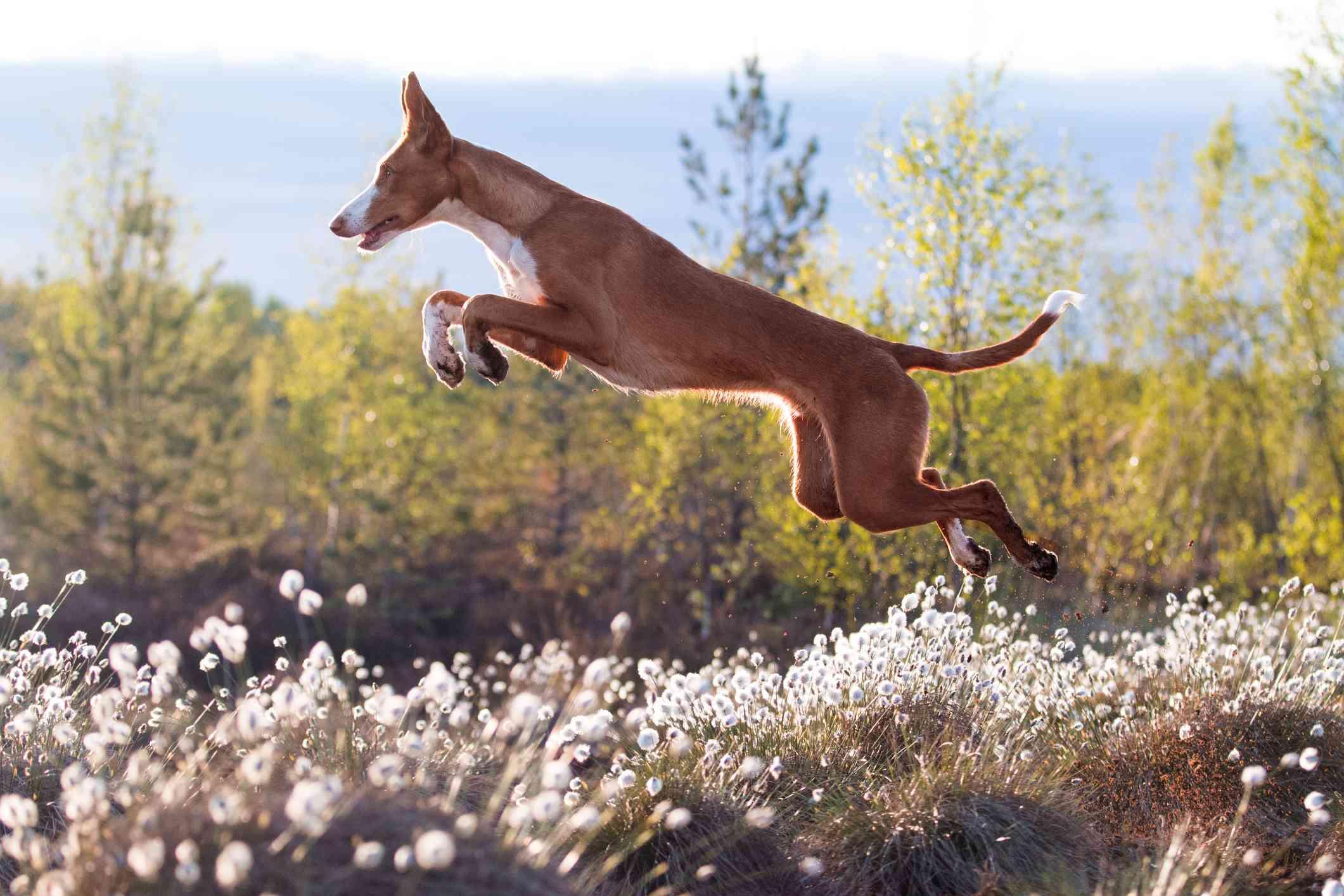 Ibizan Hound jumping through a meadow