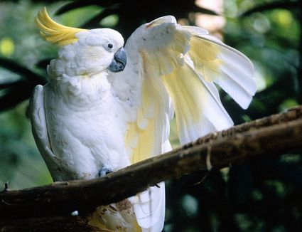 A white sulphur-crested cockatoo sitting on a branch with its left wing spread.