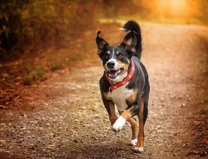 Adult appenzeller sennenhund running on path