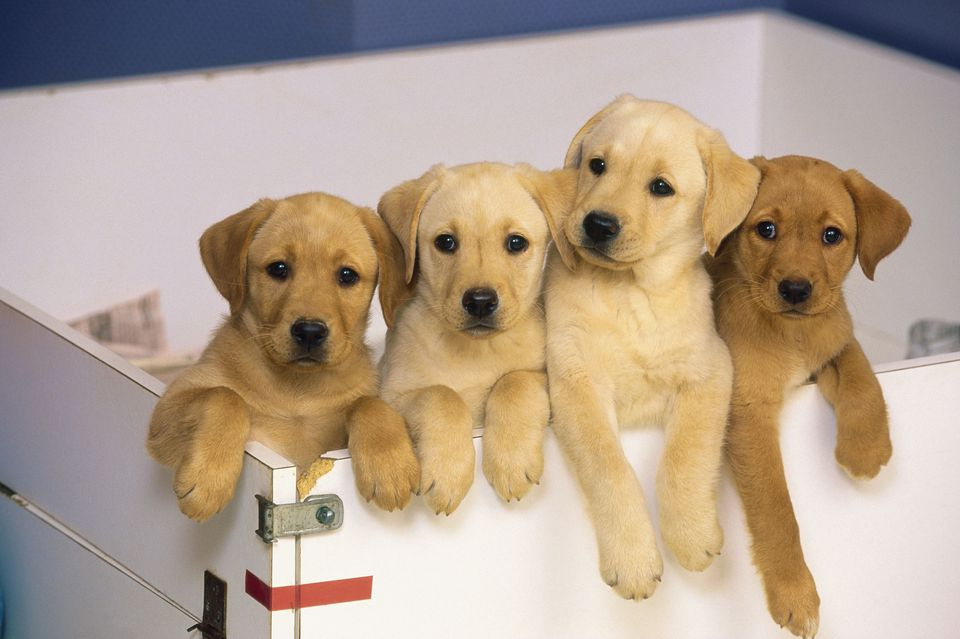 Yellow Labrador puppies