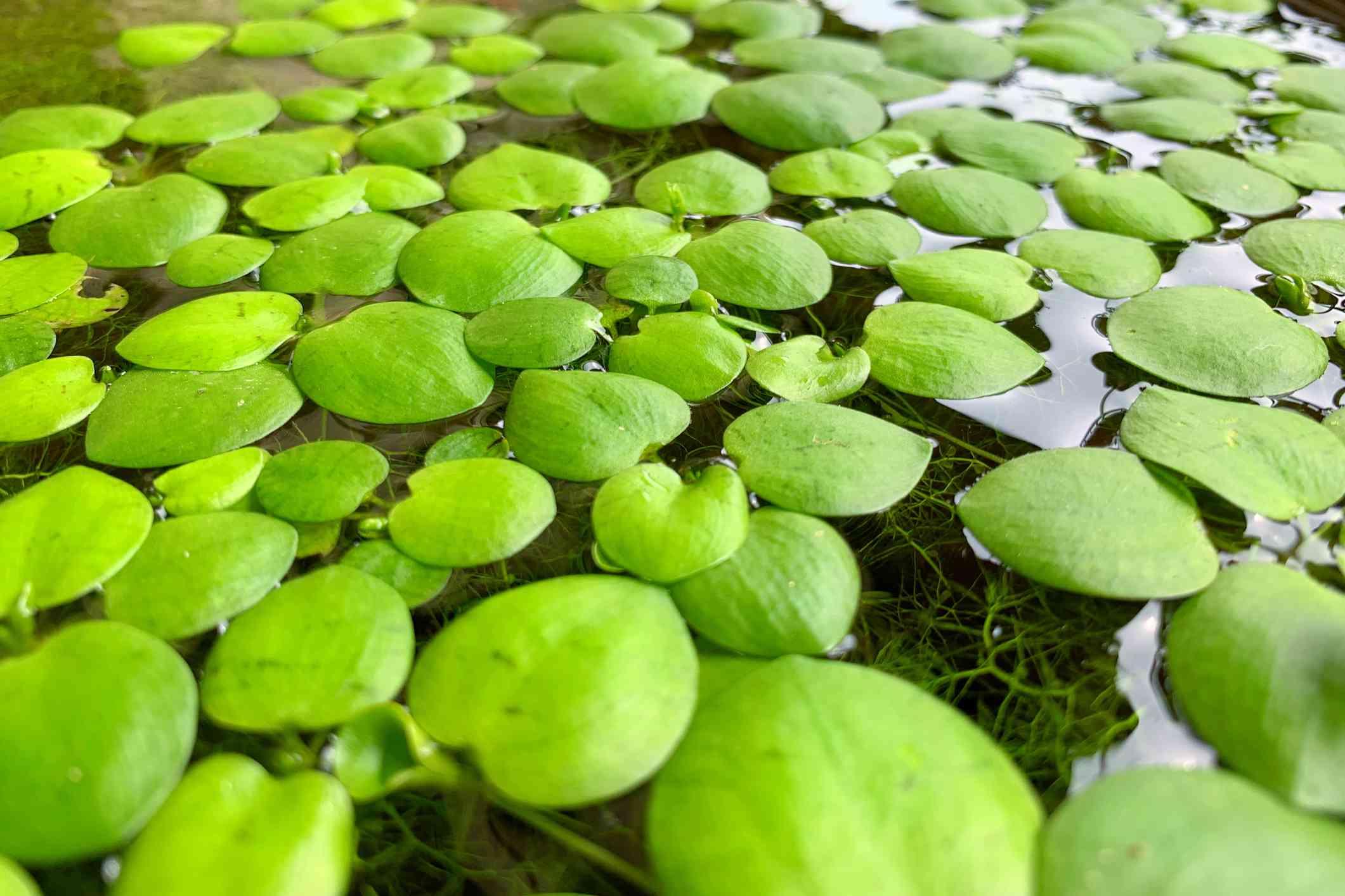 Amazon frogbit on water surface