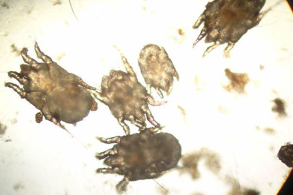 Otodectes under a microscope.
