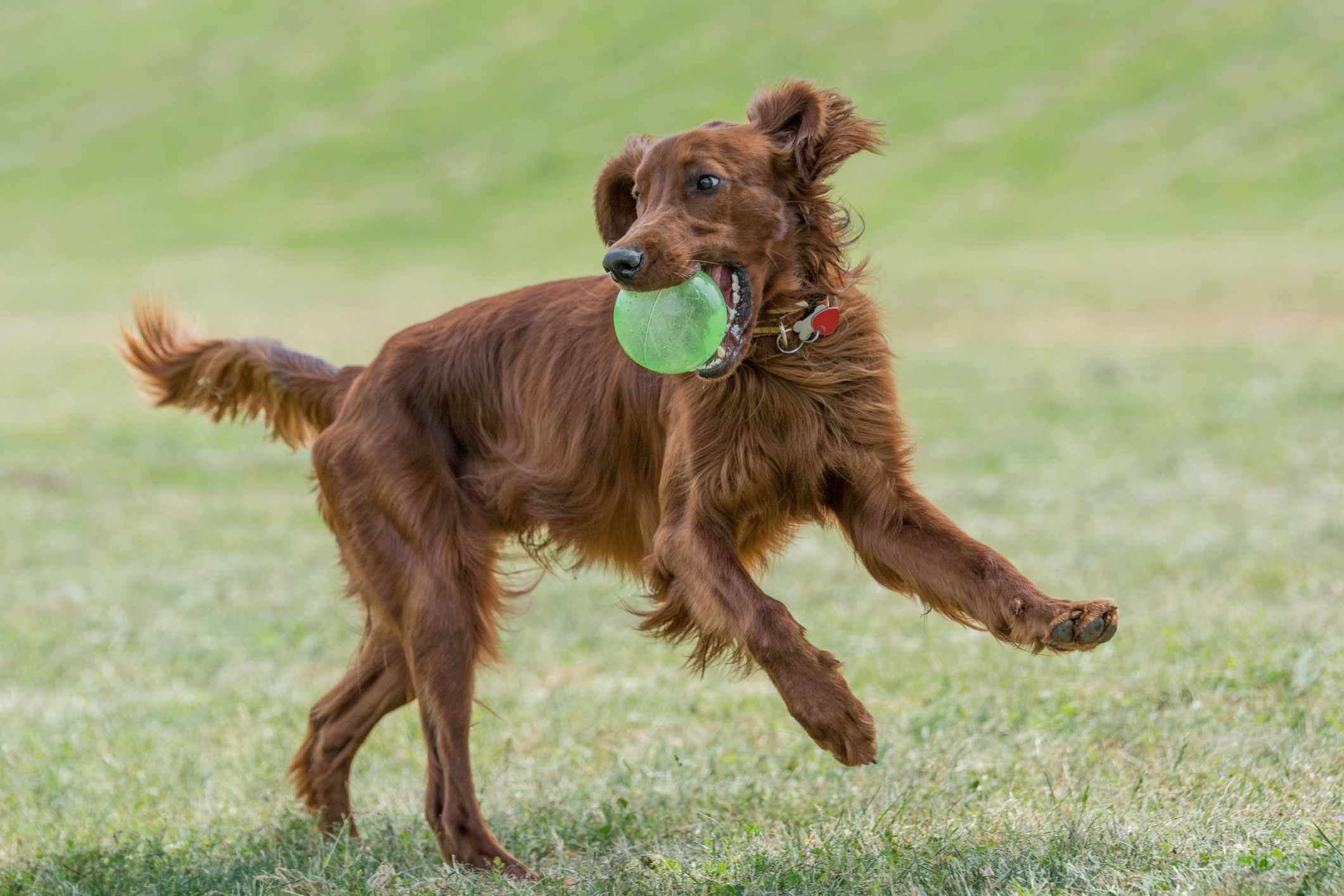 Red Irish Setter Running with ball