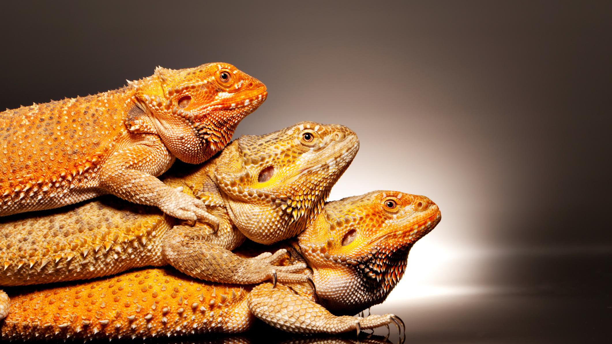 Can More Than One Bearded Dragon Live Together