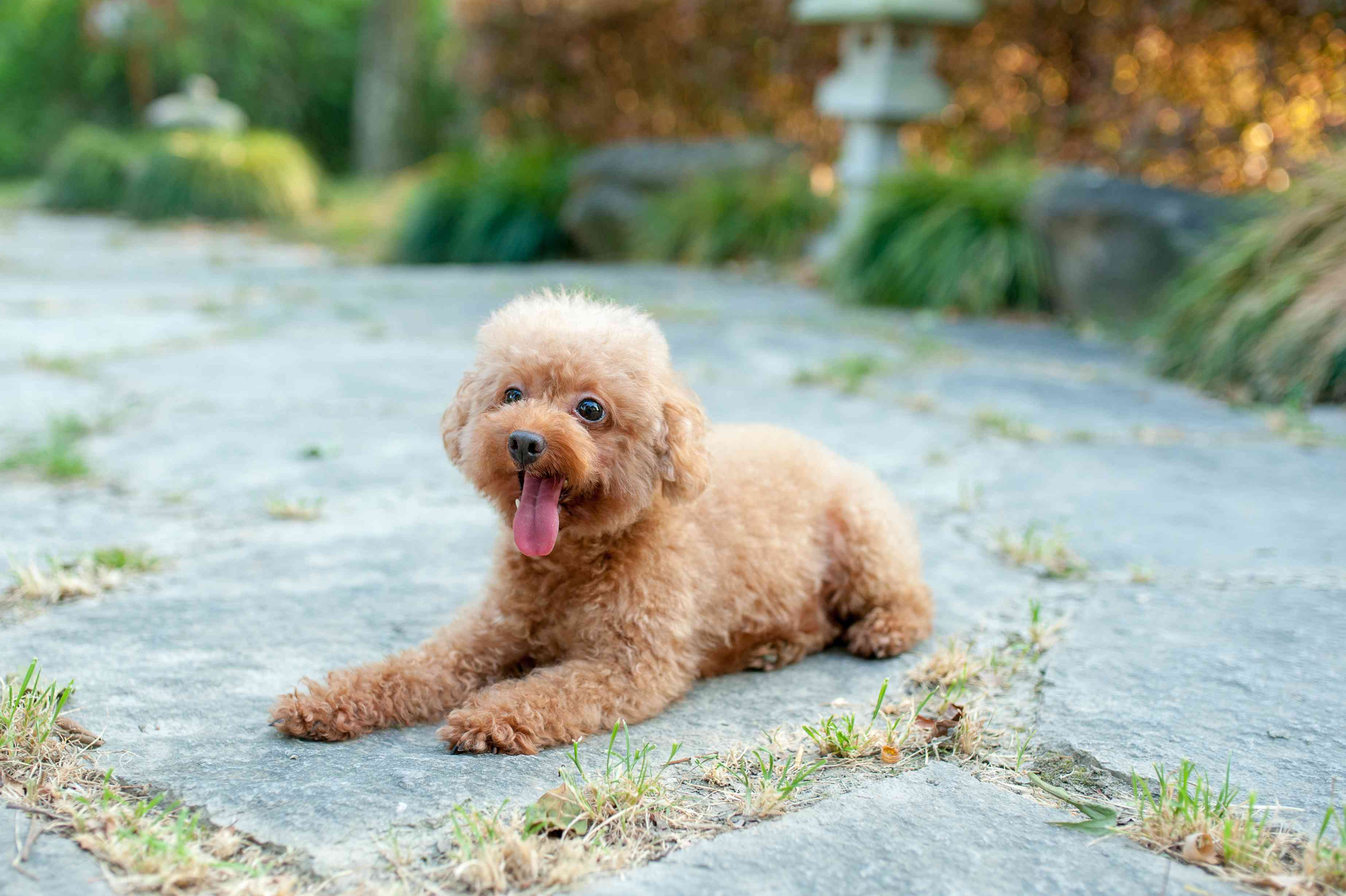 Light brown Toy Poodle puppy laying on the ground outside with its tongue out.