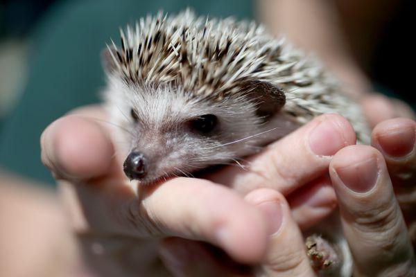 African pygmy hedgehog being held
