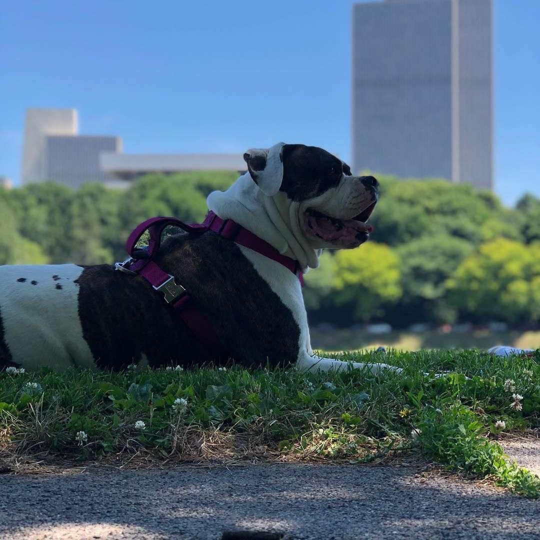 Bulldog resting in shade