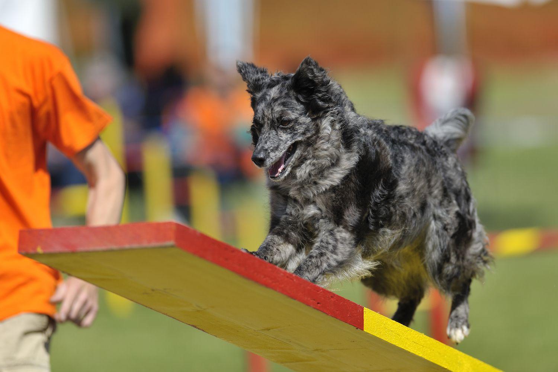 grey mudi in agility training
