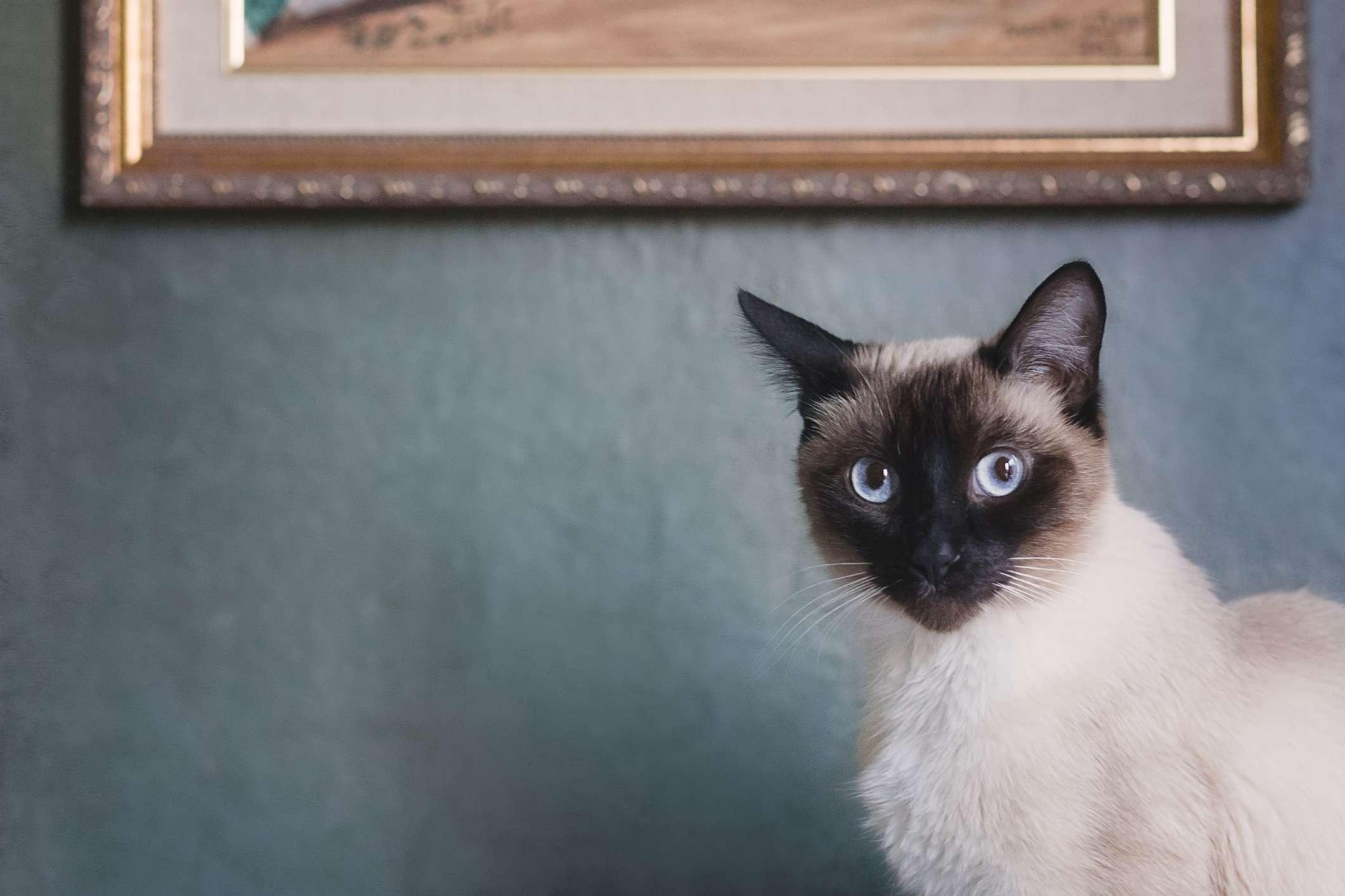 Siamese cat standing