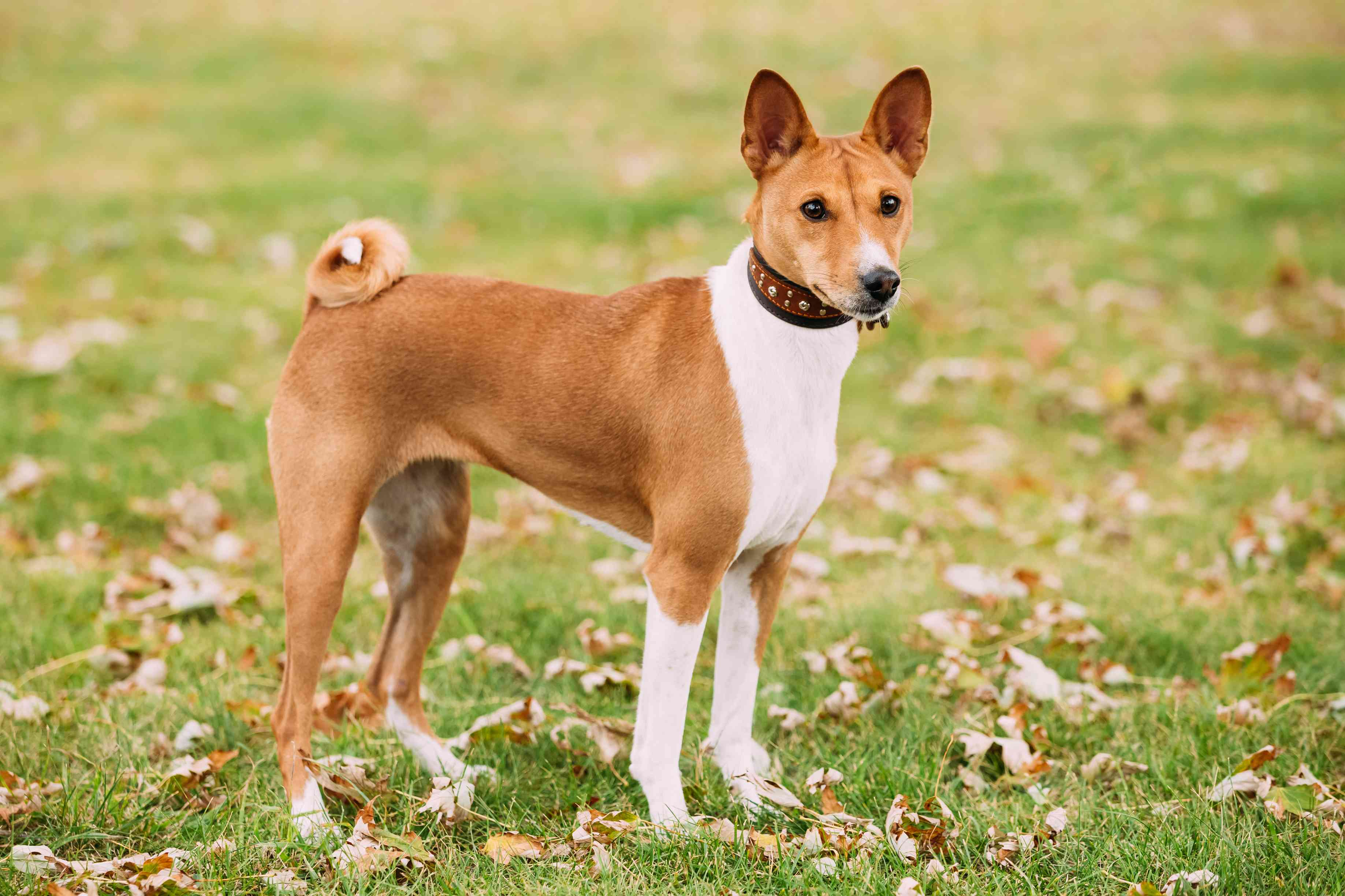 Basenji standing in grass with dried leaves