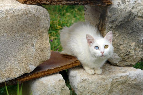 turkish van cat outside