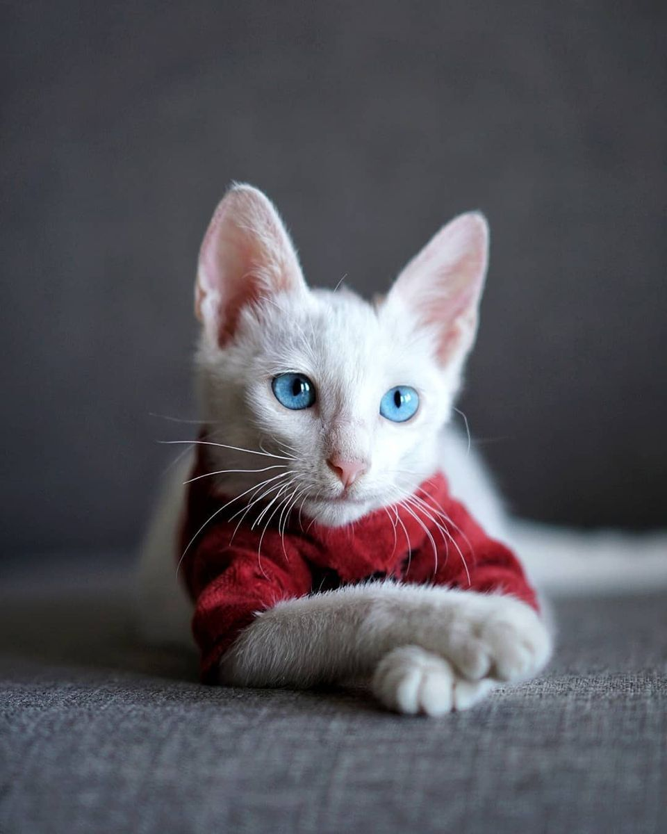 A portrait of an albino kitten.