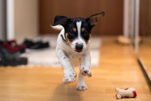 Young Rat Terrier running in house