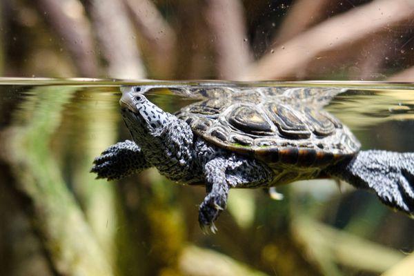 Turtle swimming in tank
