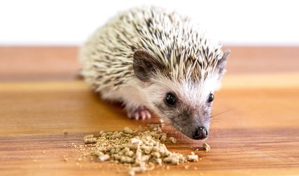 Pet hedgehog eating pieces and crumbs of kibble