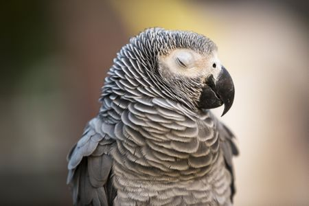 African Grey Bird Bed