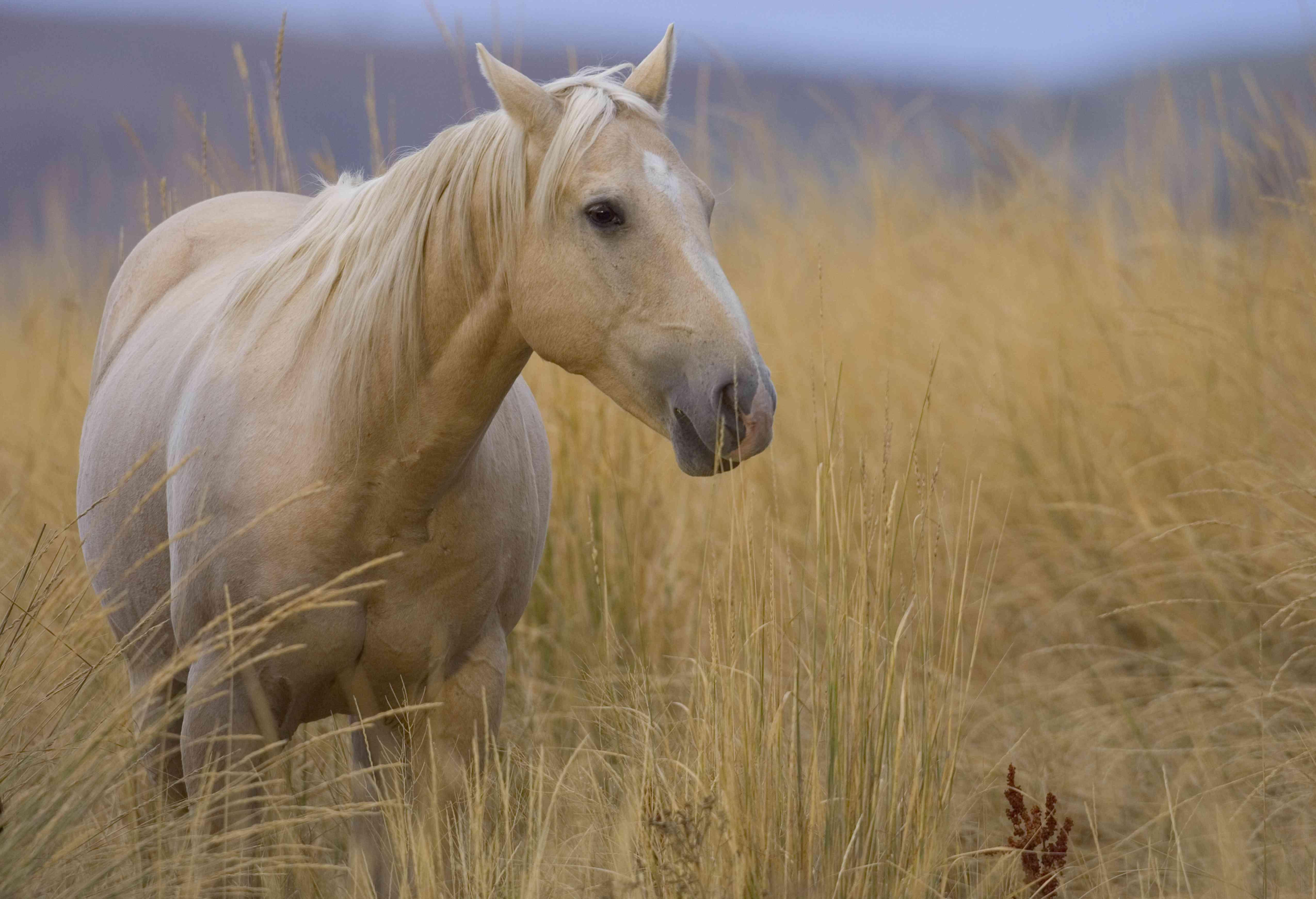 american quarter horse in cream