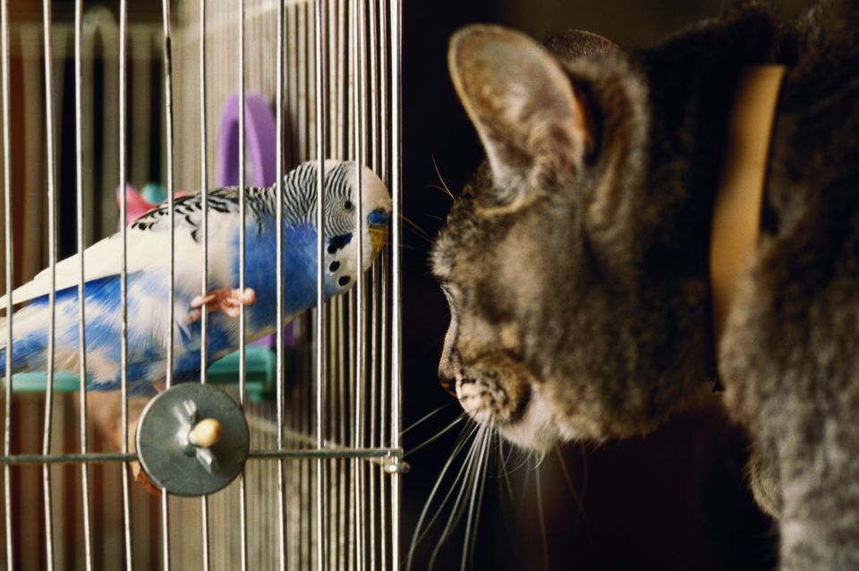 Budgerigar and cat face to face through birdcage