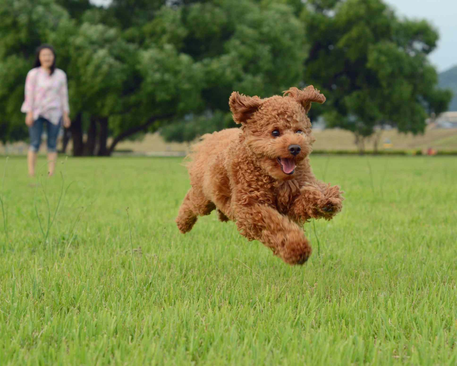 Apricot poodle running