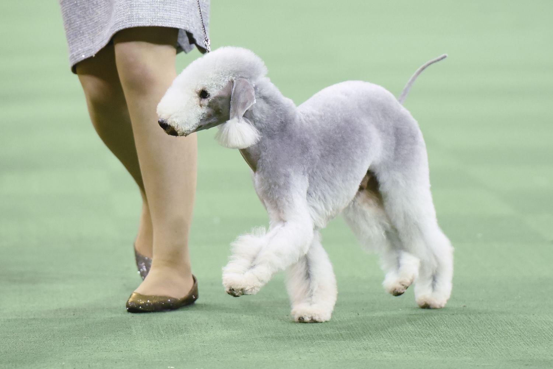 bedlington terrier show