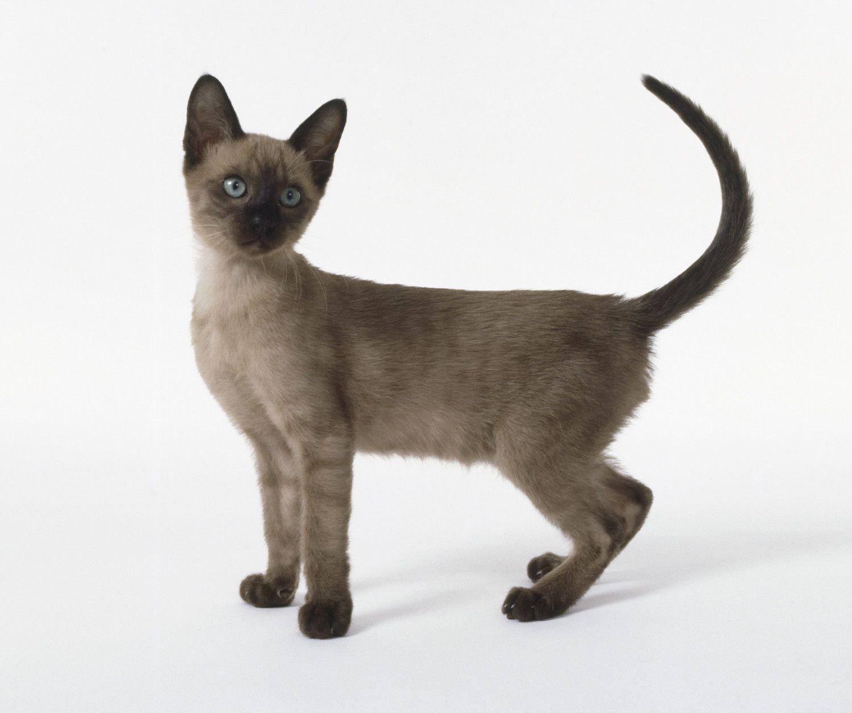 tonkinese kitten posing