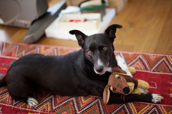 Dog laying on carpet and holding stuffed dog toy