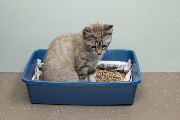 Kitten sitting in litter tray