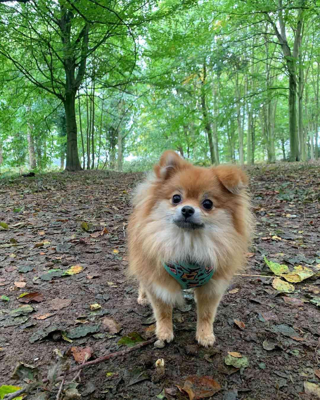 A little tan pomeranian standing in the woods.